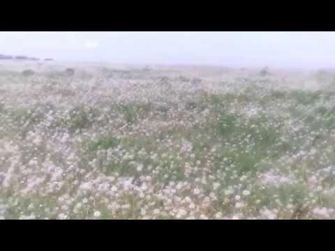 Одуванчиков поле