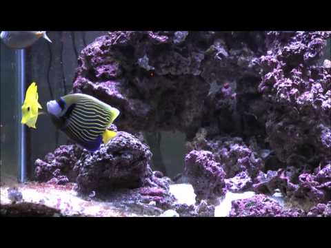 Emperor Angelfish (Pomacanthus imperator) :: AquariumDomain.com