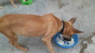 Gsd pup eat rice 2018