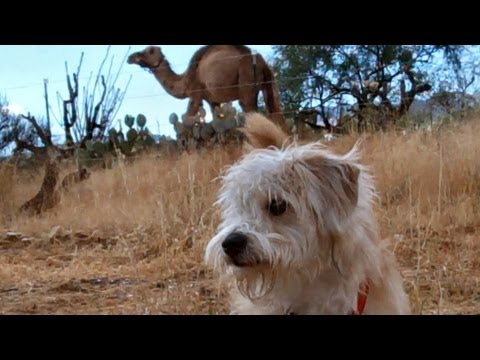 Bentley the Dog Meets a Camel