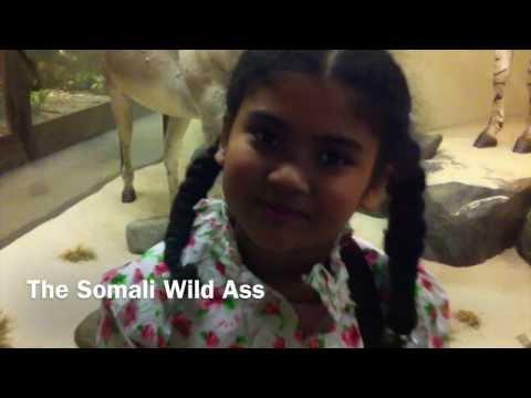 The Somali Wild Ass