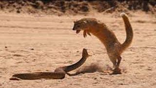 Lion, Mongoose Fight Snake