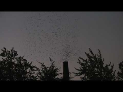Thousands of Vaux's Swifts Roost in Eugene, OR