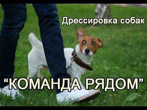 Дрессировка собак, команда рядом, 2 этапа приучения к механике