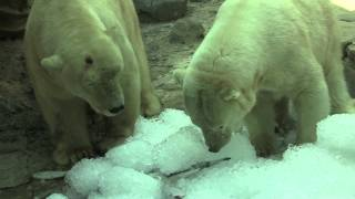 Polar Bear Ice Treats