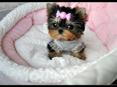 Micro Toy Dogs Perrito Dog Yorkshire Toy