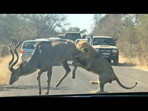 Male Lion Takes on Kudu in the Road