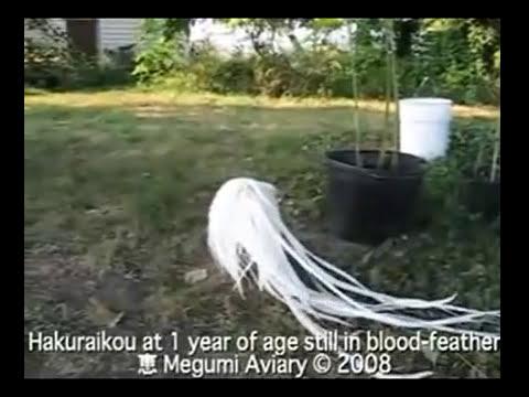 Gallo Blanco Phoenix Bantam 1 año de edad