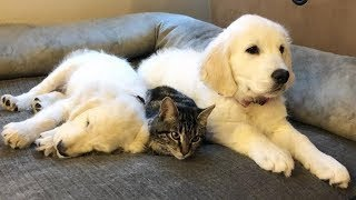 Best Of Cute Golden Retriever Puppies Compilation #16 - Funny Dogs 2018