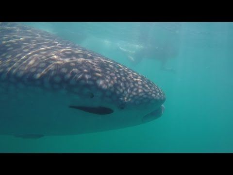 Los Cabos & La Paz 2016 (Whale Sharks!)