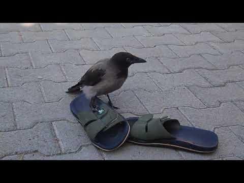 BAndika papuccsal birkózik - BAndika wrestles with slippers