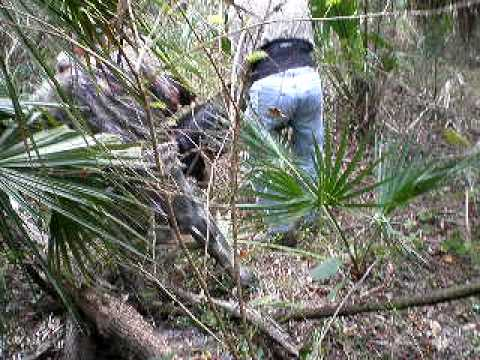Hog Hunting in florida with cur dogs Video