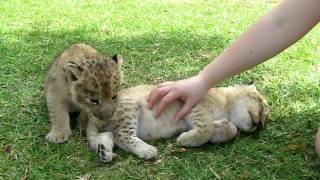 little lion cubs sleeping