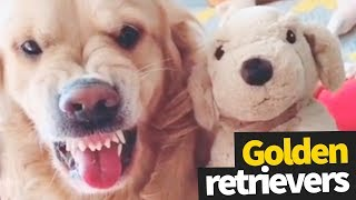 Funniest and Cutest Golden Retriever Viral Video Compilation 2019