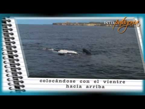 Ballenas en video: apareamiento
