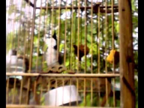 นกกรงหัวจุกชื่อจีเจาะ230 03 54