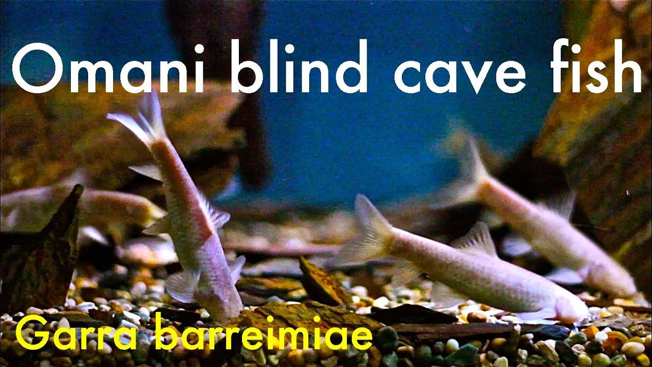 Blind cave fish aquarium
