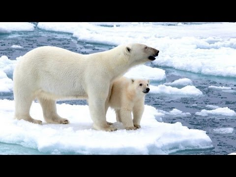 To The Arctic IMAX 3D: Meet Our Polar Bear Family