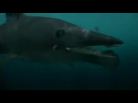 BBC: Perfect Shark: Helicaprion Fossil