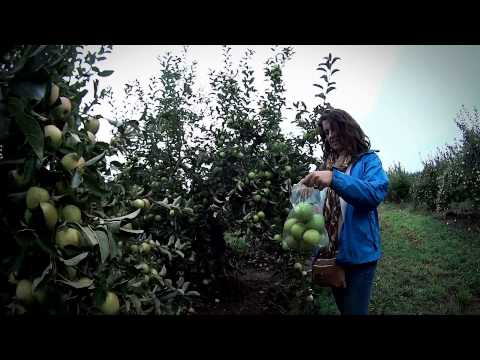 Apple Picking 2013 - Becker Farm - Gasport, NY