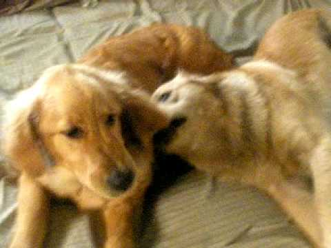 golden retriever puppy playing. Two Golden Retriever Puppies