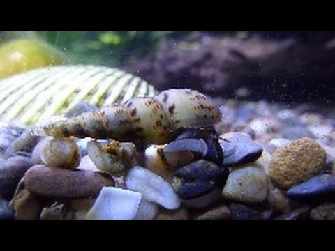 How to kill trumpet snails at thedoglogs for How to get rid of snails in fish tank