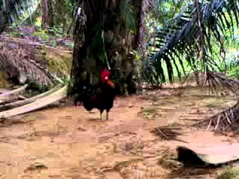 Pikat Ayam Hutan ex4