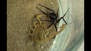Black Widow Spider vs. Bark Scorpion Natural Pest Control Test