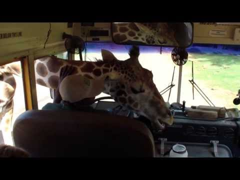 Giraffe Sticking His Head Into The Bus At The Wild Animal Safari Park In Pine Mountain Georgia