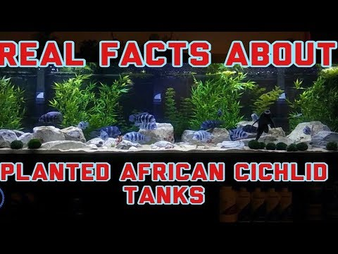 Real Facts About Planted African Cichlid Tanks | How To Keep Living Plants With African Cichlids