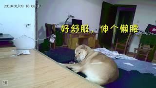 怀疑狗狗爬了床,主人安装监控抓元凶,拍到的画面把主人气炸了