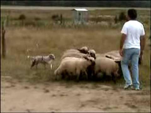 Australian shepherd, Herding instinct 4 month (mois)