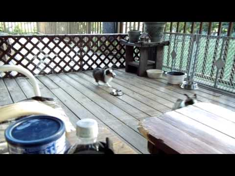 Sheltie puppies play on the deck 2