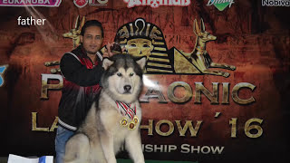 NEW ALASKAN MALAMUTE PUPPIES جراء الالسكن ملاموت