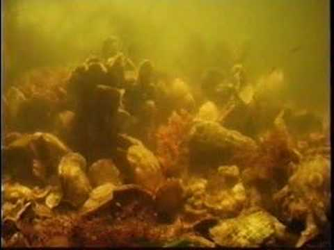 Time-lapse: Oysters Filtering Water Video