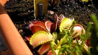 CARNIPLANT-Plantas carnivoras- I Concurso ¿cuánto mide nuestra Sarracenia?