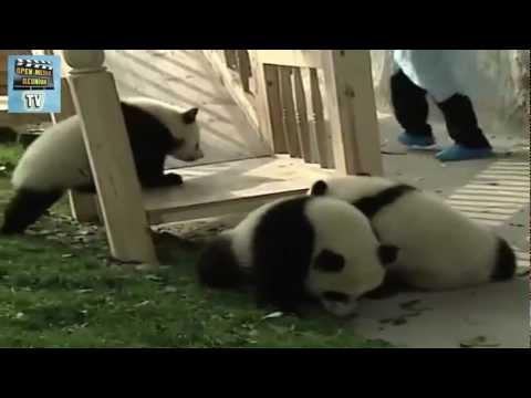 une bande de panda fait du toboggan
