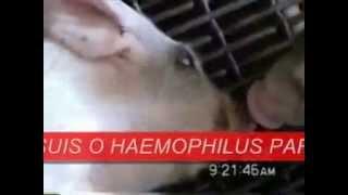Caso de meningitis en lechón post destete