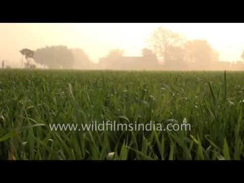 Wheat crop in a Delhi farmer's field