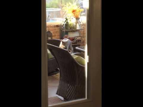 視線をこちらに向けてカメラに映りたい猫が回転椅子の上を歩く謎。