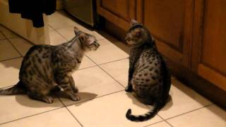 funny cats slowest cat fight ever-egyptian maus