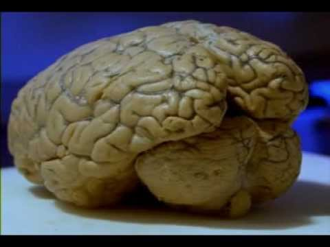 El Cuerpo Humano (El Cerebro)