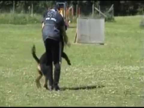 Rottweiler biting and killing figurant IPO Video