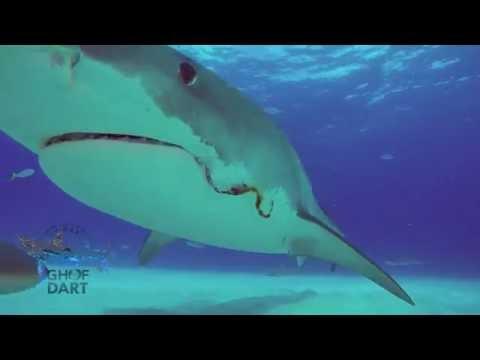 Tiger Beach & Tiger Sharks - Guy Harvey