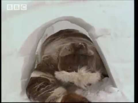 How to Make a Perfect Igloo - Ray Mears World of Survival - BBC