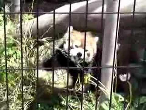 Red Panda 「食事中のレッサーパンダ」in 旭山動物園