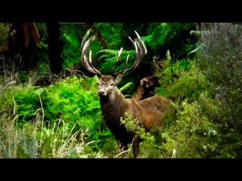 Hunting Red deer in New Zealand part 87