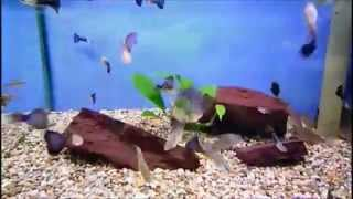 Richard Dawkins - Evidence For Evolution - Guppy Experiment - Natural Selection Observed