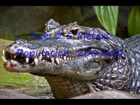 All Crocodilian Species In The World