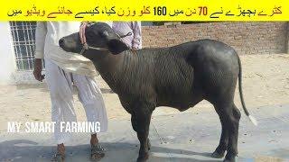 33 | Dairy & Cattle Farming | کٹرے بچھڑے نے 70 دن میں 160 کلو وزن کیا  | Dairy Breedings